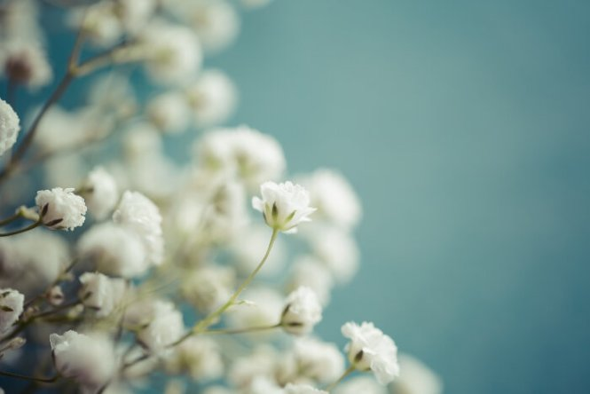 baby's breath flower  flower, Natural flower