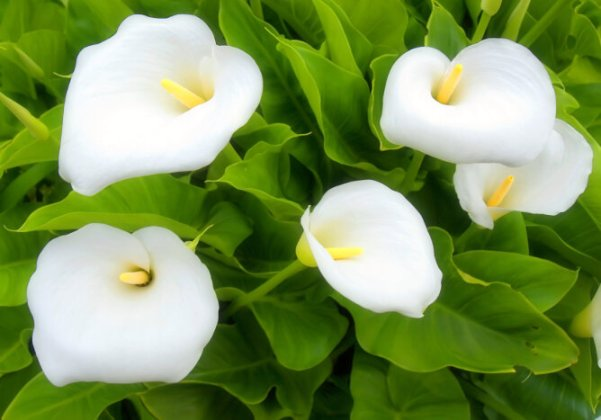 White Flowers   Flower Meaning Calla Lily Flowers