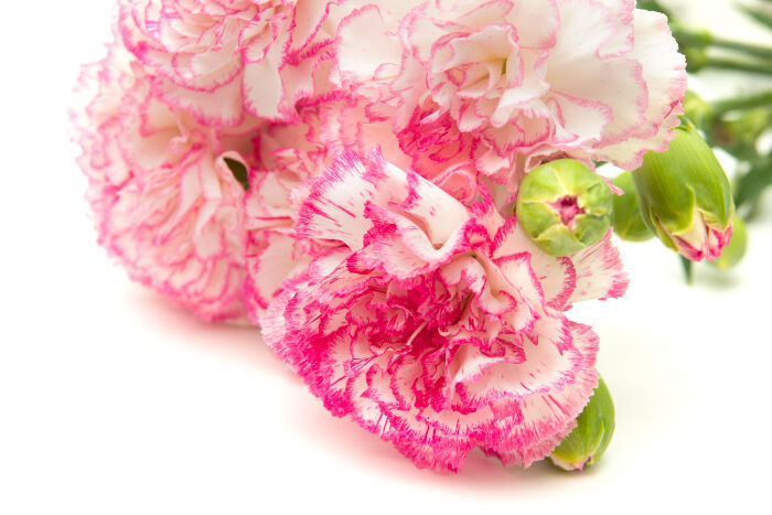 Carnation Flower Meaning   Flower Meaning Carnation Flowers
