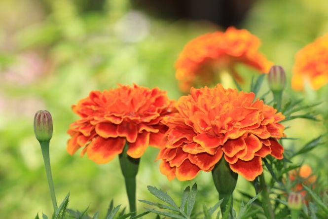 chrysanthemum flower  flower, Natural flower