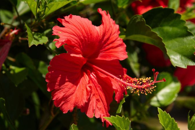 Hibiscus Flower Meaning   Flower Meaning The hibiscus flower is traditionally worn by Hawaiian women