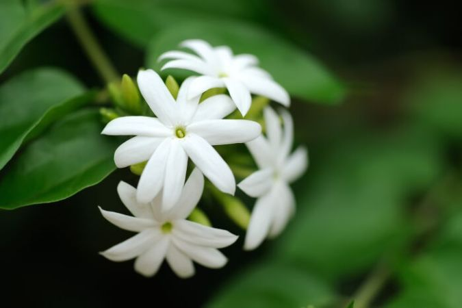 Jasmine Flower Meaning   Flower Meaning Jasmine Flower Meanings