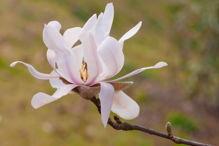 Magnolia Flower Meaning   Flower Meaning closeup photography of magnolia stellata flower  star magnolia