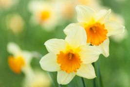 Image result for narcissus flower