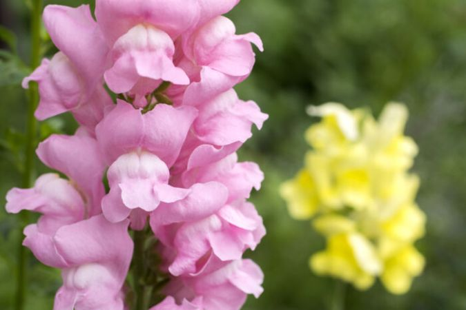 Snapdragon Flower Meaning   Flower Meaning Snapdragon flowers