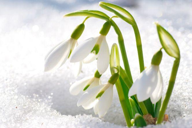 snowdrop flower meaning  flower, Natural flower