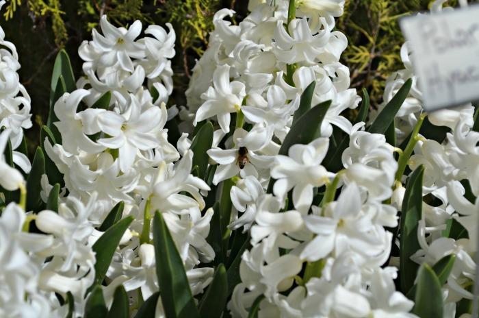Ironstone Hyacinths, FlowerPatchFarmhouse.com