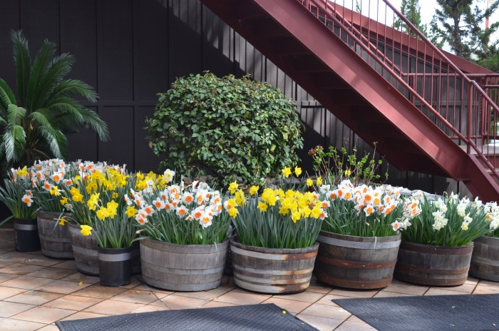 ironstone barrels of daffodils, FlowerPatchFarmhouse.com