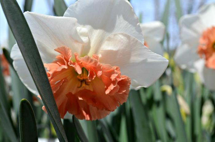 Ironstone Daffodil, FlowerPatchFarmhouse.com