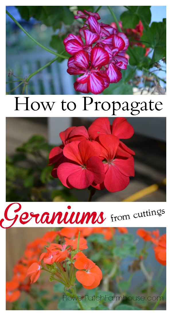 How to Propagate Geraniums from cuttings. Also known as perlargoniums, these are easy enough for beginner gardeners to root and is a wonderful project for the kids.