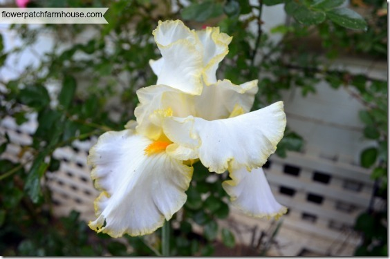 white with yellow iris 560