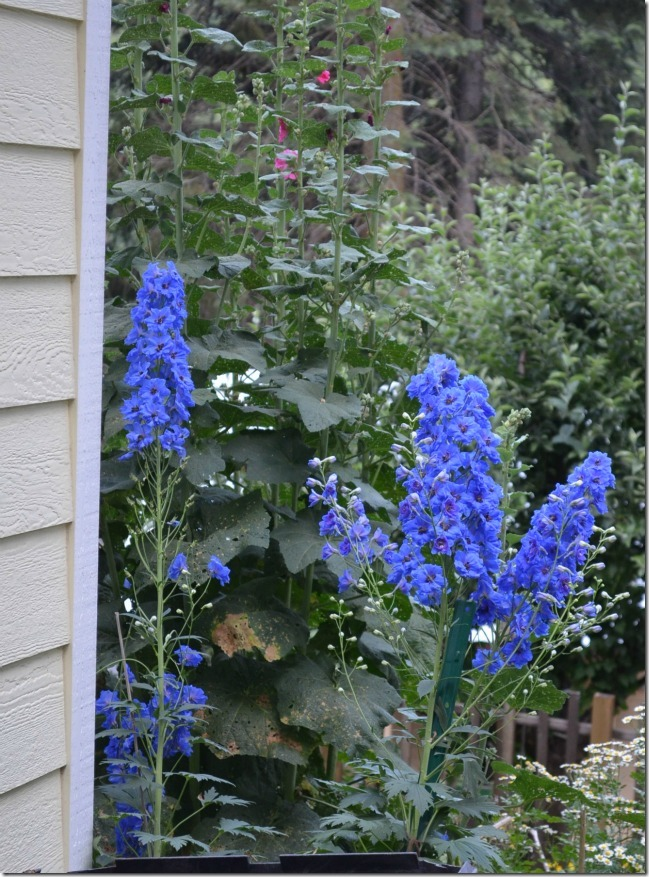 New Millenium Blue Delphiniums