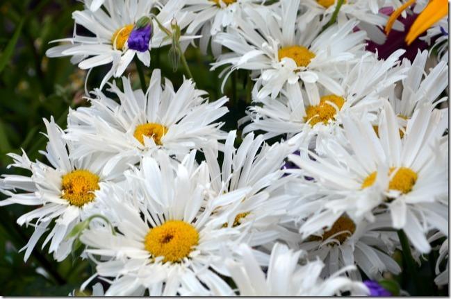 crazy crazy daisy
