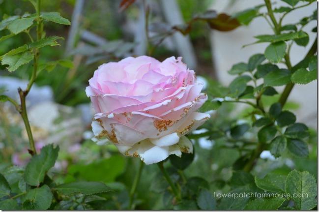 eden rose6
