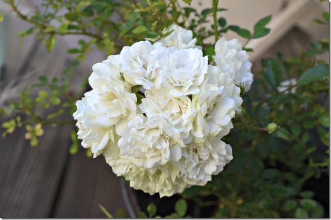 white bouquet mini rose