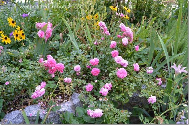 Petal Pusher roses