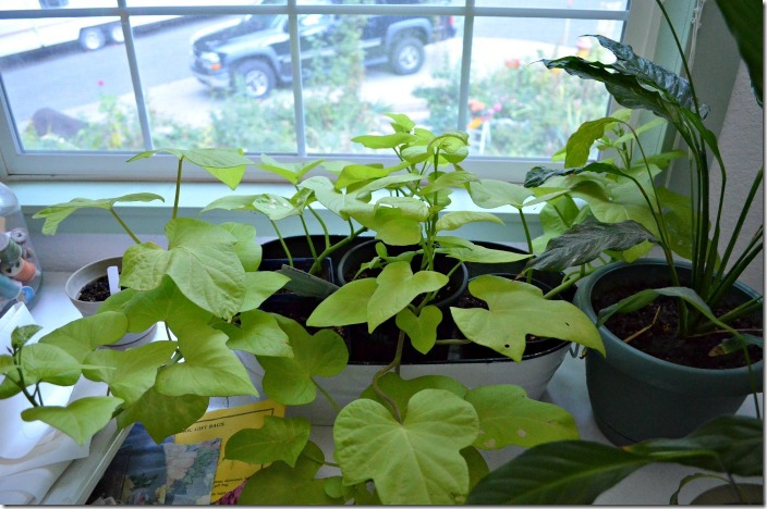 sweet potato vine cuttings