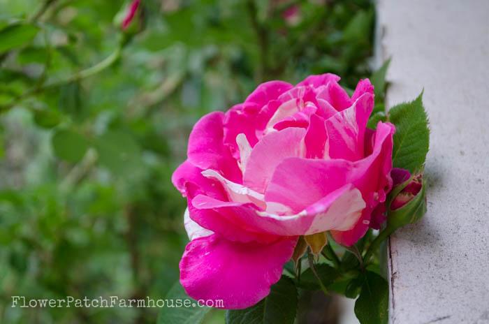 Candyland climbing rose