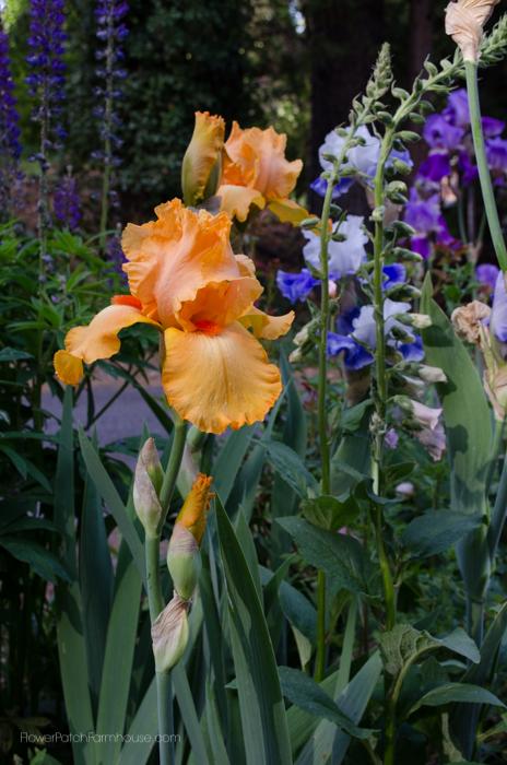 Iris May 30-10