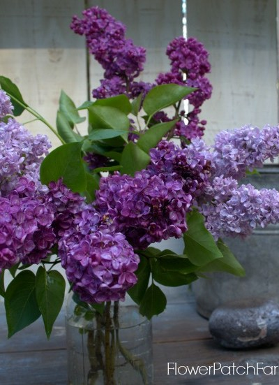 All About Lilacs Grow, Propagate and Bloom