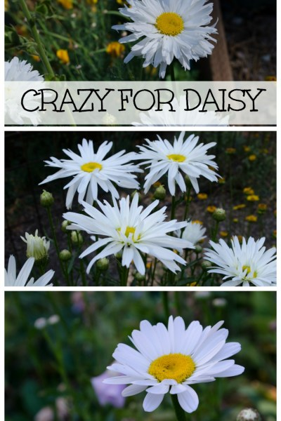 Variety of daisies