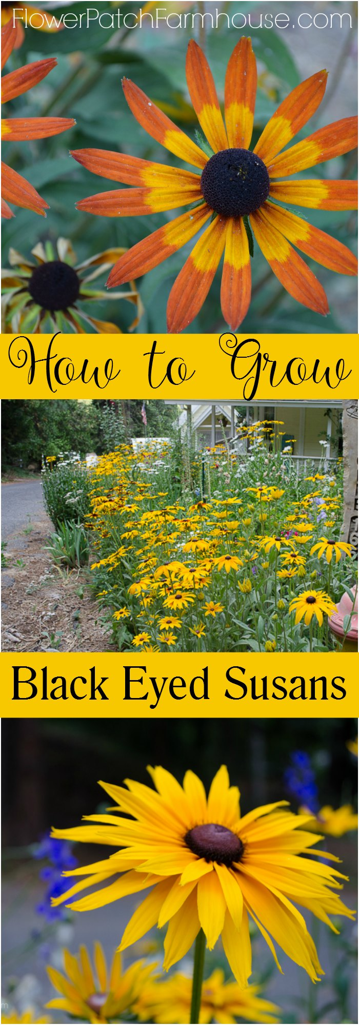 How to grow Black Eyed Susans for a vibrant easy care garden filled with gorgeous blooms all through the heat of summer! A wonderful addition to your cottage garden.