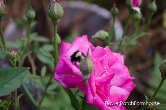 vintage rose (Pams Pink) and a bumblebee