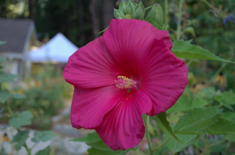hibiscus 2, FlowerPatchFarmhouse.com