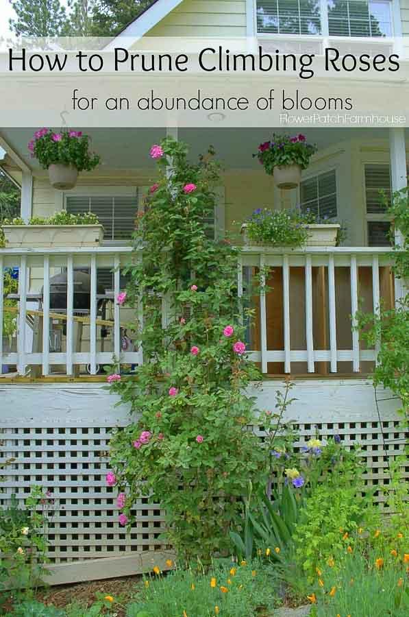 Zepherine Drouhin climbing rose on porch post, How to Prune Climbing Roses