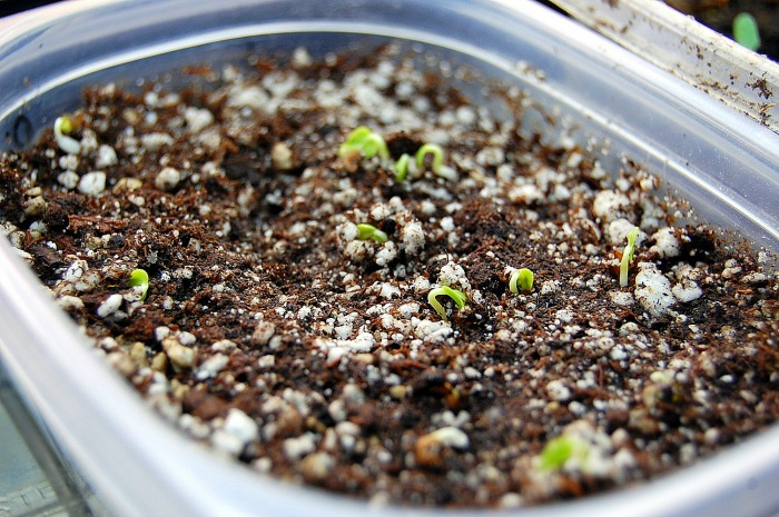 Seeds sprouting, how to control fungus gnats, FlowerPatchFarmhouse.com