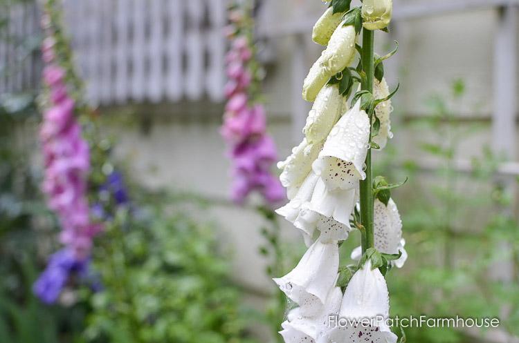 How to grow foxgloves flower patch farmhouse how to grow foxgloves for a height in your cottage garden mightylinksfo