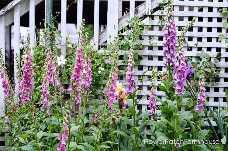 how to grow foxloves in your cottage garden
