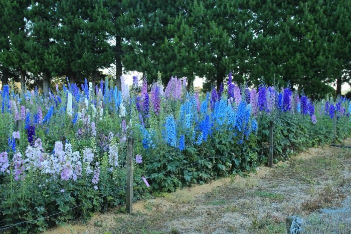 Delphiniums from Dowdeswell's in New ZealandZe