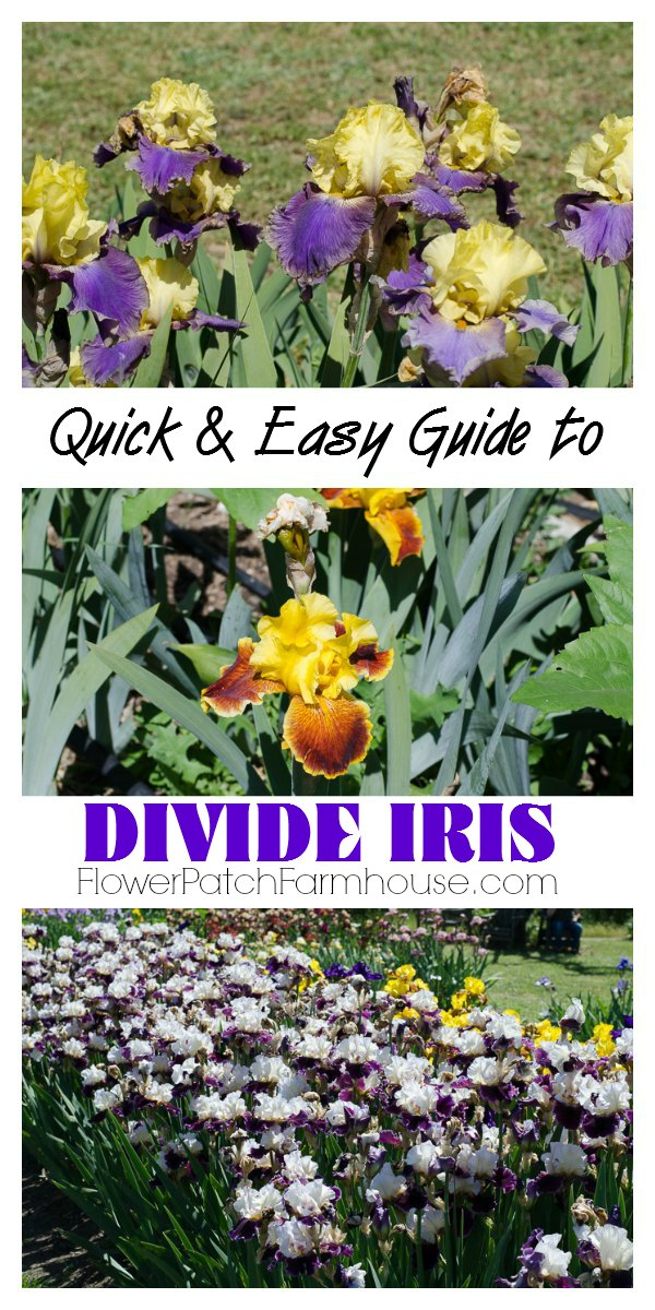 Quick and Easy guide to Divide your Iris, it is healthy for them and you get more fabulous blooms.  FlowerPatchFarmhouse.com