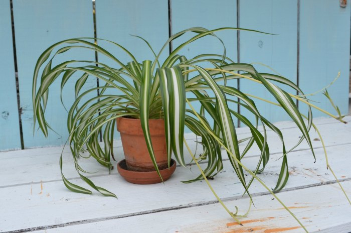 Varigated Spider Plant, Clean your indoor air with house plants, houseplants for your skin,
