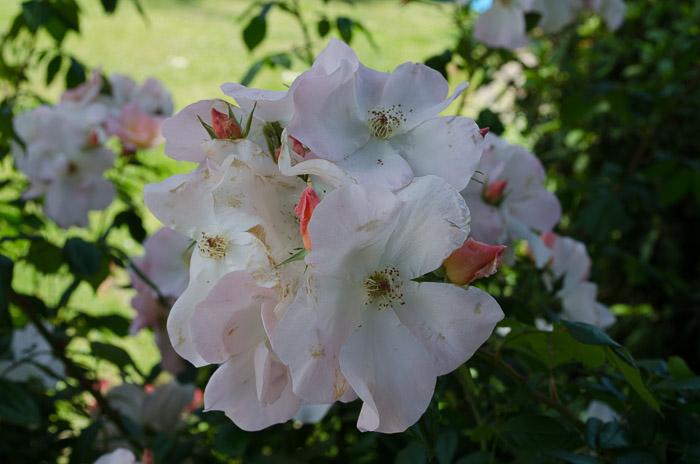 Luther Burbank Garden, FlowerPatchFarmhouse.com (50 of 50)
