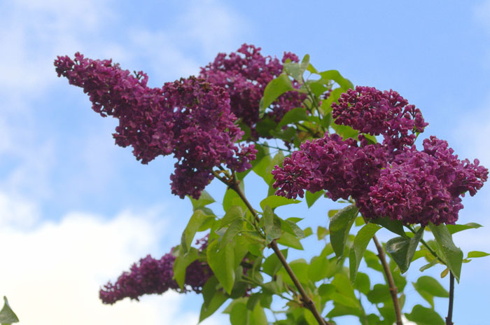 purple lilac against blue sky, How to grow lilacs