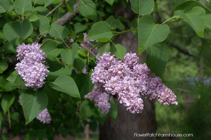 minecraft how to grow lilac