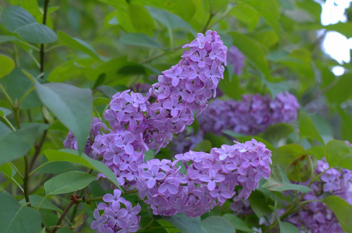 Lavender lilac close up, How to Grow Lilacs