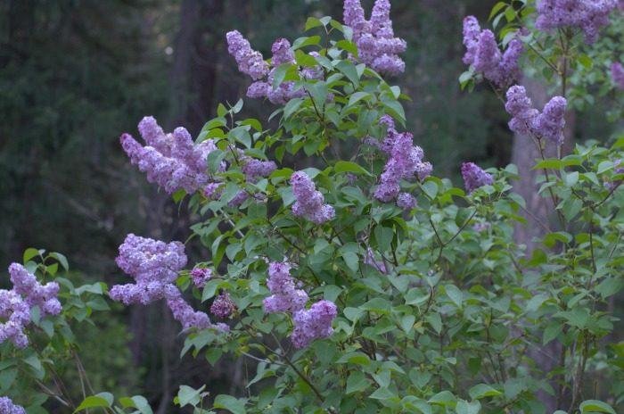 lilac bush1