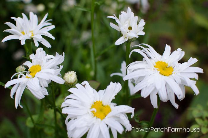 Crazy Shasta Daisy blooming, FlowerPatchFarmhouse.com