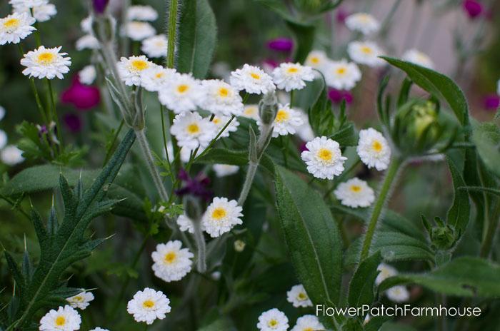 Feverfew, FlowerPatchFarmhouse.com