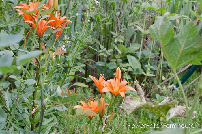 Garden walk June 25, FlowerPatchFarmhouse.com (41 of 50)
