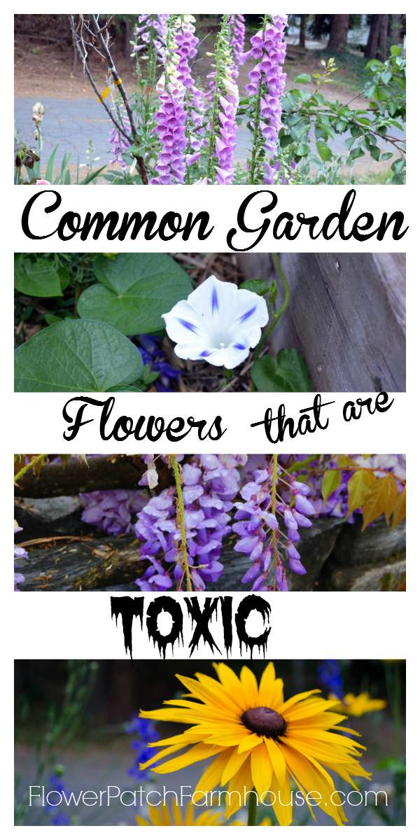 Is your Garden Toxic?  Many common garden flowers are and most people don't know it.  I give you a list of toxic garden plants.
