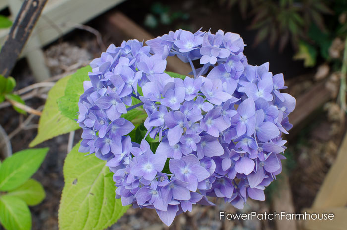 Hydrangea, FlowerPatchFarmhouse.com