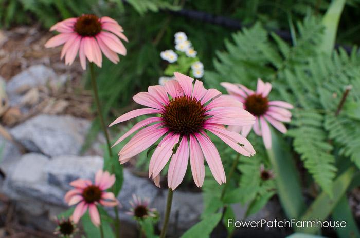 Katie Saul Echinacea, FlowerPatchFarmhouse.com