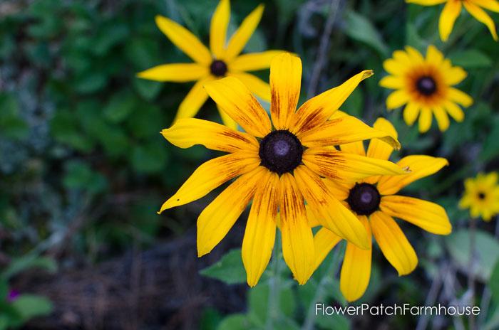 Splashy Rudbeckia, FlowerPatchFarmhouse.com