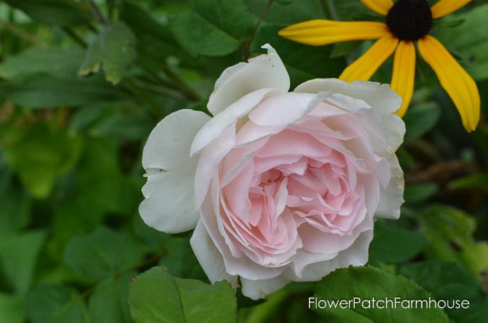 Augusts Roses, FlowerPatchFarmhouse.com (6 of 41)