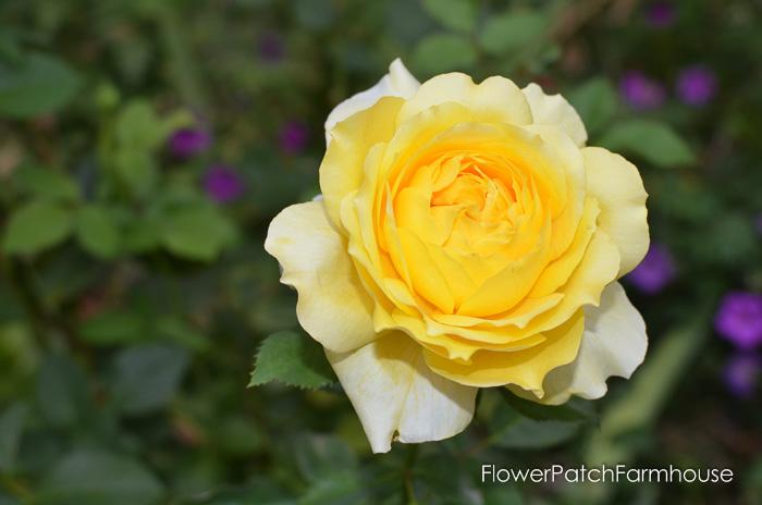 Augusts Roses, FlowerPatchFarmhouse.com (9 of 41)