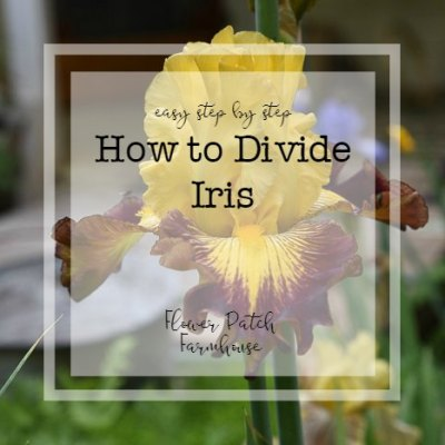 How to Divide Iris Rhizomes, one easy step at a time with video!